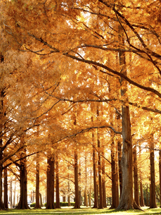 東京都 水元公園のメタセコイアの黄葉の写真素材 [FYI04785804]