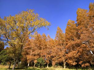 東京都 水元公園のメタセコイアの黄葉の写真素材 [FYI04785806]