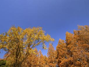 東京都 水元公園のメタセコイアの黄葉の写真素材 [FYI04785807]