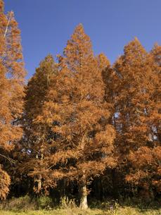 東京都 水元公園のメタセコイアの黄葉の写真素材 [FYI04785809]