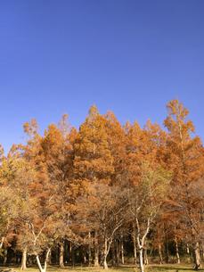 東京都 水元公園のメタセコイアの黄葉の写真素材 [FYI04785810]