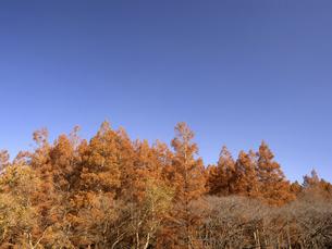 東京都 水元公園のメタセコイアの黄葉の写真素材 [FYI04785811]