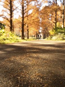 東京都 水元公園のメタセコイアの黄葉の写真素材 [FYI04785813]