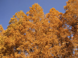 東京都 水元公園のメタセコイアの黄葉の写真素材 [FYI04785814]