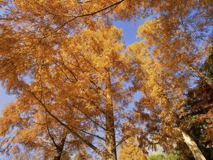 東京都 水元公園のメタセコイアの黄葉の写真素材 [FYI04785823]
