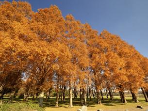 東京都 水元公園のメタセコイアの黄葉の写真素材 [FYI04785825]