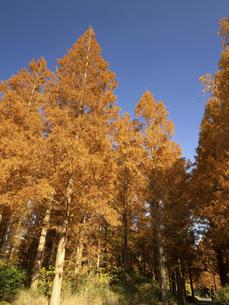 東京都 水元公園のメタセコイアの黄葉の写真素材 [FYI04785826]