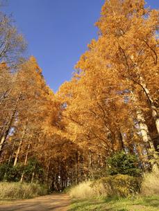 東京都 水元公園のメタセコイアの黄葉の写真素材 [FYI04785827]