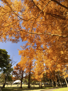 東京都 水元公園のメタセコイアの黄葉の写真素材 [FYI04785832]