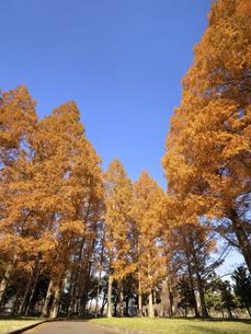東京都 水元公園のメタセコイアの黄葉の写真素材 [FYI04785833]