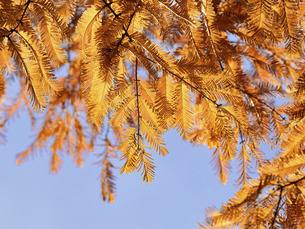 メタセコイアの黄葉の写真素材 [FYI04785859]