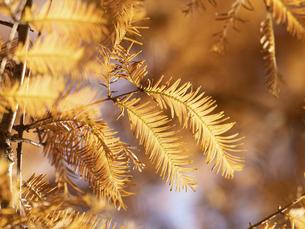 メタセコイアの黄葉の写真素材 [FYI04785864]
