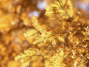 メタセコイアの黄葉の写真素材 [FYI04785865]