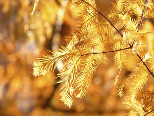 メタセコイアの黄葉の写真素材 [FYI04785868]