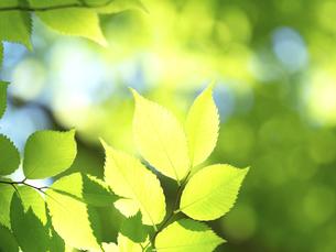 新緑 木漏れ日にかがやくケヤキの葉の写真素材 [FYI04785886]