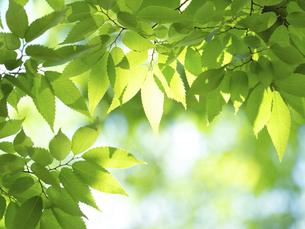新緑 木漏れ日にかがやくケヤキの葉の写真素材 [FYI04785889]