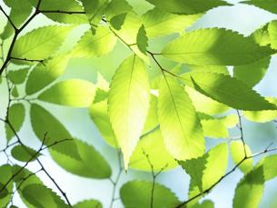 新緑 木漏れ日にかがやくケヤキの葉の写真素材 [FYI04785890]