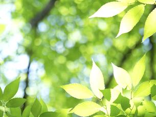 新緑 木漏れ日にかがやくケヤキの葉の写真素材 [FYI04785891]