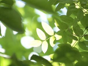 新緑 木漏れ日にかがやく新緑の葉の写真素材 [FYI04785892]