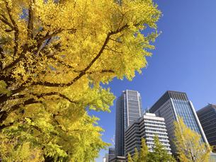 東京都 丸の内オフィスビル街とイチョウ並木 の写真素材 [FYI04785933]