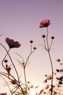 コスモスとピンクの夕焼けの写真素材 [FYI04786038]