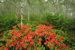 月 初夏の八千穂高原白樺林のレンゲツツジの写真素材 [FYI04786062]
