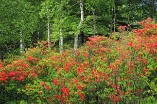 6月 初夏の八千穂高原白樺林のレンゲツツジの写真素材 [FYI04786066]