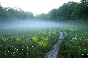 6月 ワタスゲが咲き乱れる駒止湿原の写真素材 [FYI04786072]