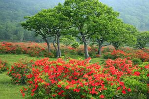 6月 赤城山白樺牧場のレンゲツツジの写真素材 [FYI04786087]