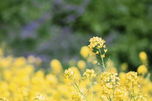 菜の花畑の写真素材 [FYI04786602]