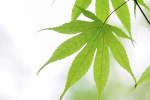 グリーンのカエデの葉の写真素材 [FYI04786603]