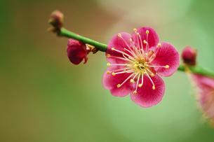 赤い梅の花の写真素材 [FYI04786626]