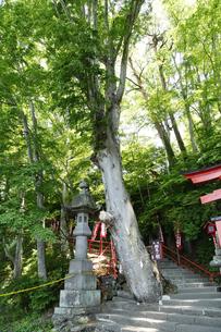 鼻顔稲荷神社 (相生の樹)の写真素材 [FYI04786786]