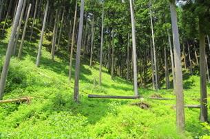 下草の多い森林の写真素材 [FYI04786985]