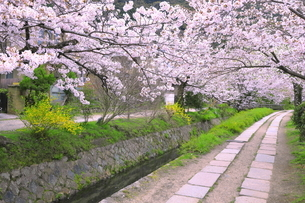桜の咲く哲学の道の写真素材 [FYI04787019]