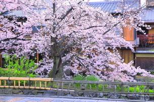 祗園の白川南通の桜の写真素材 [FYI04787031]