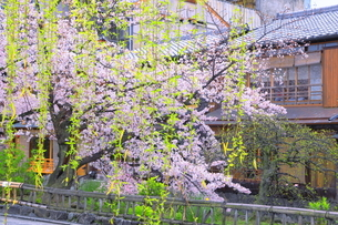 祗園の白川南通の桜の写真素材 [FYI04787032]