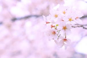 桜の写真素材 [FYI04787066]