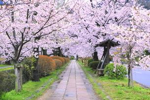 桜の咲く白川疎水道の写真素材 [FYI04787070]