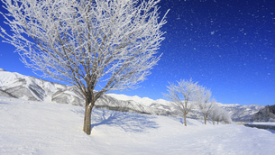 白馬連峰と散る霧氷の並木の写真素材 [FYI04787150]