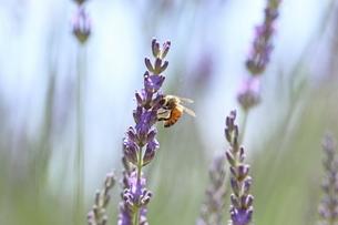 ミツバチとラベンダーの写真素材 [FYI04787319]