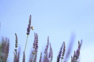 ミツバチとラベンダーの写真素材 [FYI04787322]