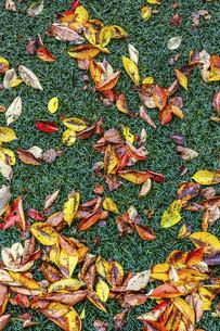 紅葉した落ち葉面の写真素材 [FYI04787325]