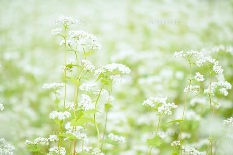 福井県大野市のそば畑の写真素材 [FYI04787778]