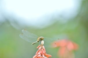 花に止まるとんぼの写真素材 [FYI04787784]
