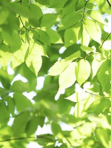 新緑 木漏れ日にかがやくケヤキの葉の写真素材 [FYI04788146]