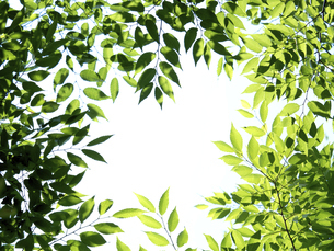 新緑 木漏れ日にかがやくケヤキの葉の写真素材 [FYI04788147]