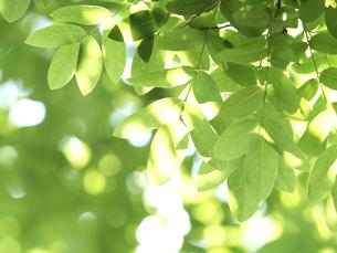 木漏れ日にかがやく新緑の写真素材 [FYI04788153]
