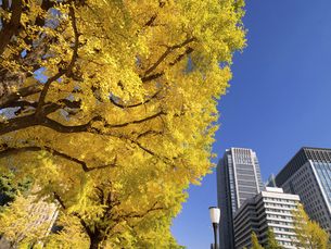 東京都 丸の内オフィスビル街とイチョウ並木 の写真素材 [FYI04788160]