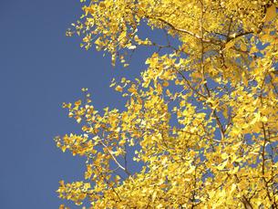 青空とイチョウ並木の写真素材 [FYI04788162]